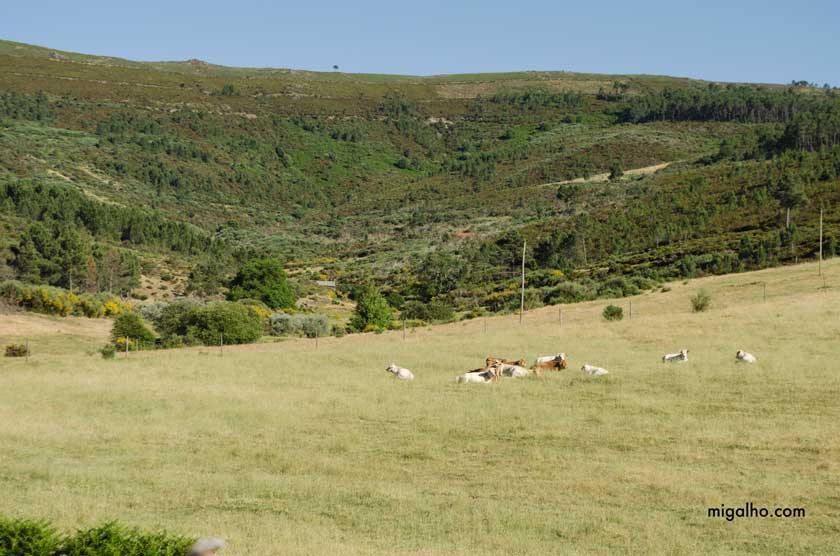 Vacas-no-lameiro